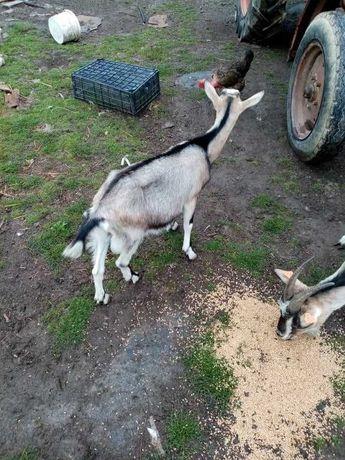 Sprzedam kozy...