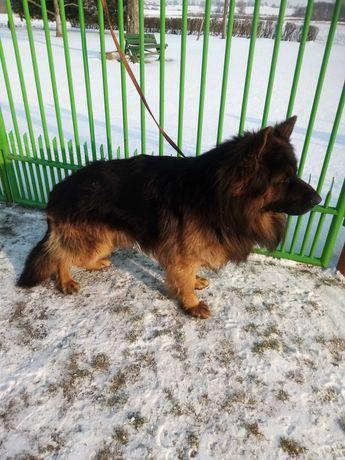 Owczarek niemiecki pies dlu-wlos Rod..