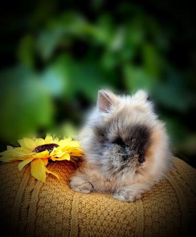 Króliki, królik karzełek Teddy, Mini Lop, karzełek krótkowłosy