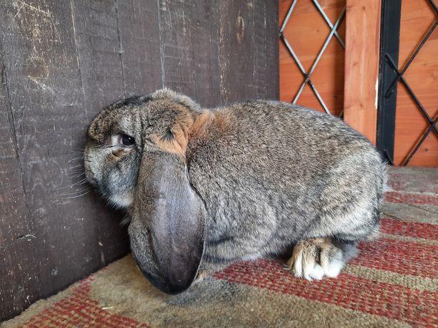 Królik króliki francuski baran szary