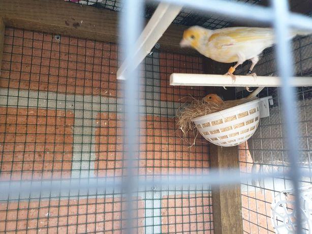 Vendo canarios comuns