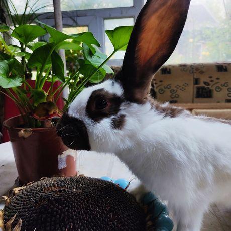 Кролики строкач Гавана.