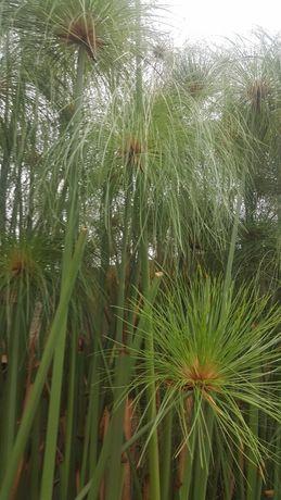 """PAPIRO - Pés de Planta de papiro para plantar """"vassourinhas"""""""