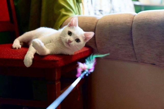 Отдам белую кошку. Должна жить без кошек