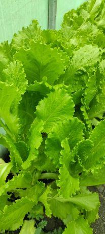 Салат листовой свежий
