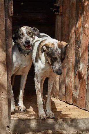 Бесплатно : крупные молодые собаки Рика и Аскольд
