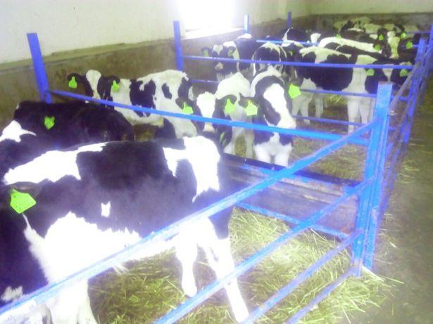 byczki na KREDYT hf 2 tygodniowe tanio cielaki cielęta