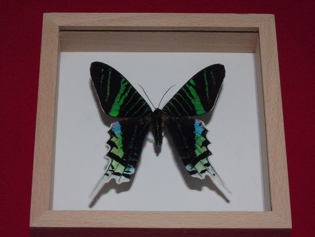 Motyl w gablotce12cmx12cm.Urania leilus 70 mm