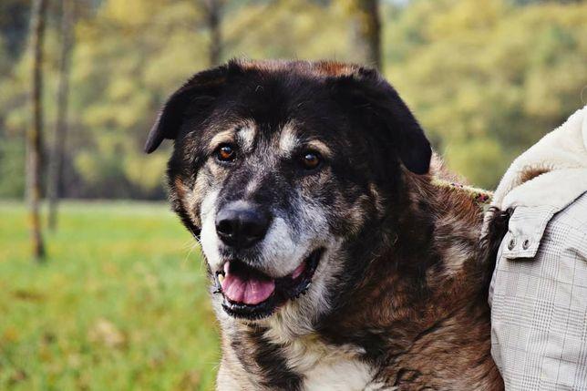 Psi anioł szuka domu! Pokochaj pięknego, dużego Denisa!