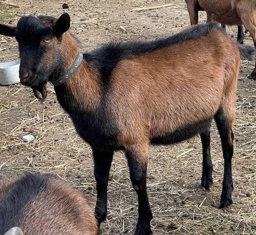 козел альпийский