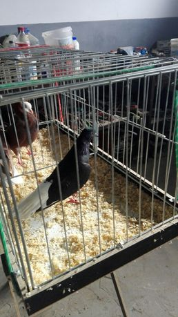 Sprzedam gołębie gòrnolotka  samic