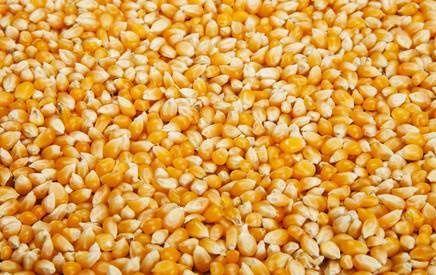 sucha kukurydza paszowa