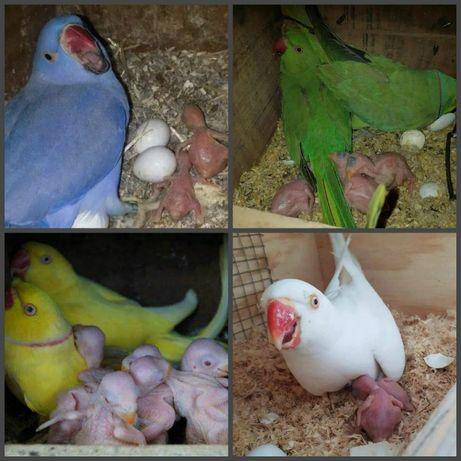 Продаю ожереловых попугаев