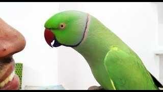 Troco ring necks verdes por outras aves
