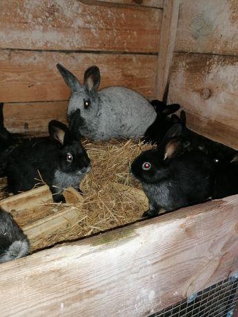 Sprzedam młode króliki wjs do dalszego chowu po ładnych rodzicach.