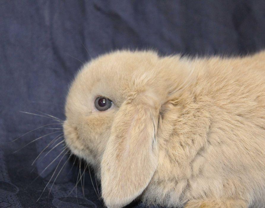 Карликовые баранчики - декоративные кролики Каменское - изображение 1