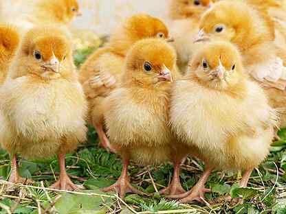 """Цыплята """"Геркулес"""", Венгрия - мясо-яичное направление!"""