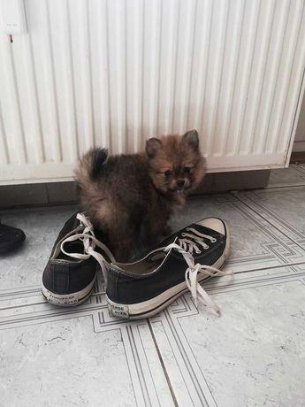 Śliczne szczeniaczki Szpic miniaturowy Pomeranian