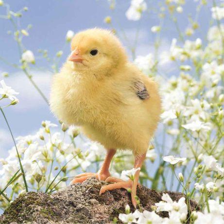 Цыплята  бройлера. Есть доставка.