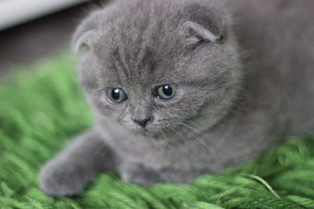 Шотландські висловухі та прямовухі кошенята шотландцы котята вислоухая