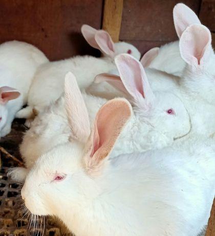 Кролики от 1,5 месяца