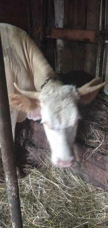 Продам корову.за первым отделом.