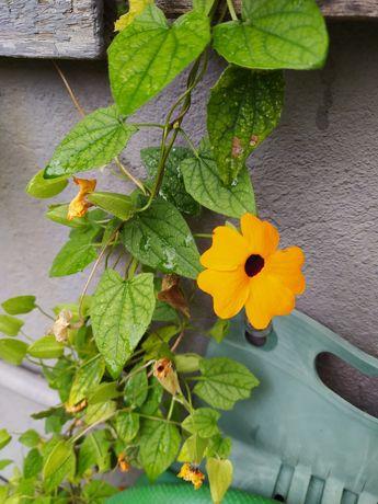Suzana de olhos negros - Thunbergia alata