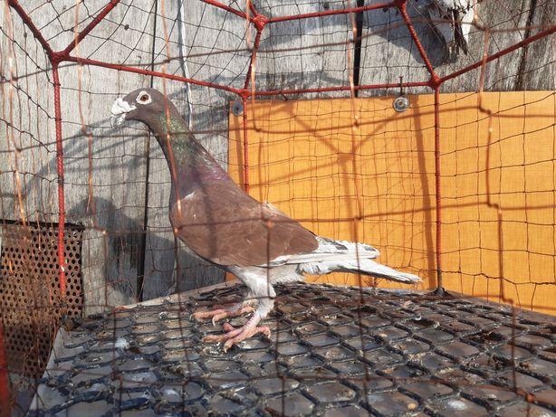 Rzeszowski rzeszowskie samiec ptaki gołębie ozdobne