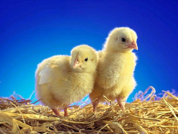 Инфракрасная лампа для обогрева цыплят (аналог ) - ИК обогреватель