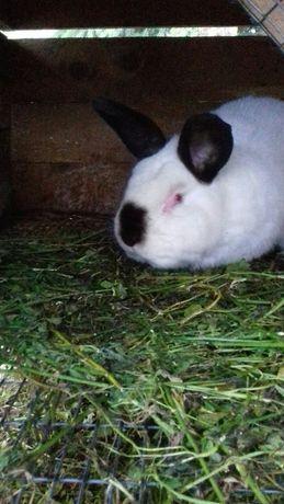 Кролики Каліфорнія самець