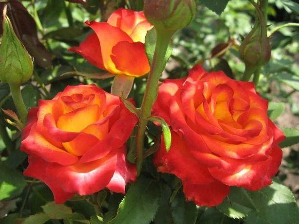 Саженцы, кусты роз розы  лаванда, юкка, самшит