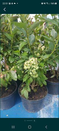 Borówka Amerykańska sadzonki duże rośliny 3 - 4 letnie 4l i 5l