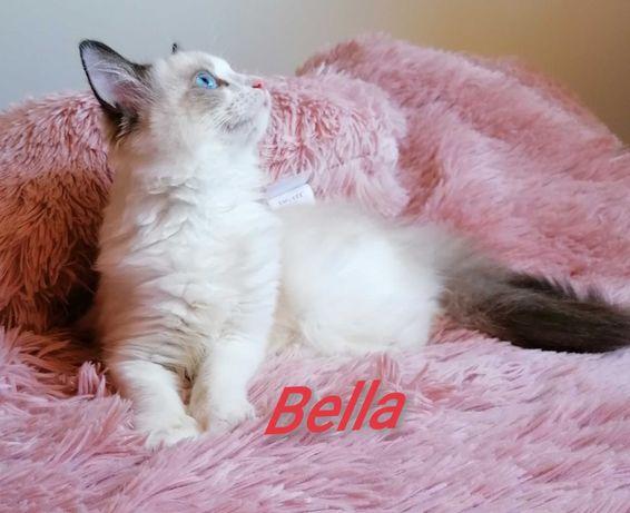 Ragdoll piękne kocięta PZF/WCF