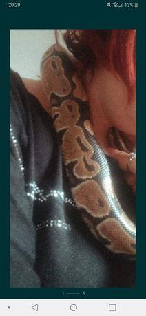 Wąż królewski samica z papierami klasyczna