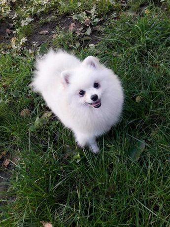 Pomeranian biały ZKwP FCI