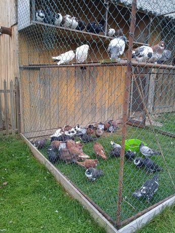 Продам голуби м'ясної породи