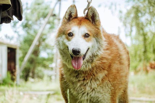 Пропала собака Алтай, Бородянка, Ближайшие села! Киевская область!