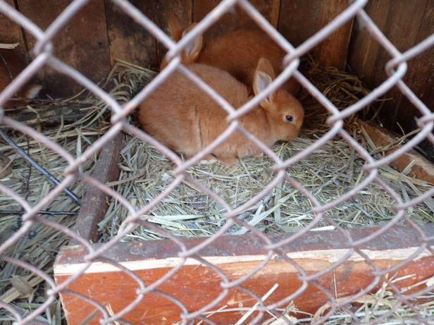 Кролики НЗК 3 мес , новозеландские красные, продаю 1-2 штуку