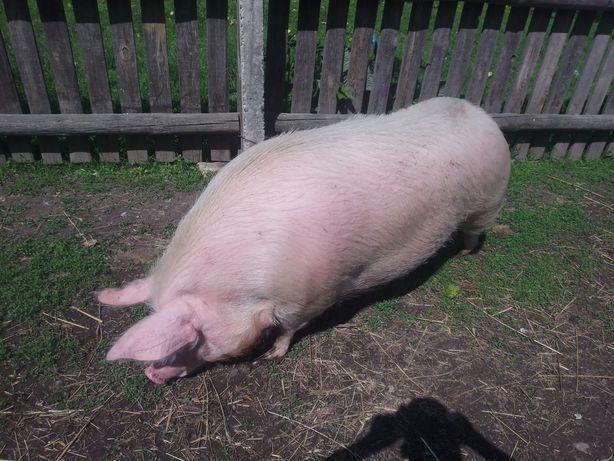 Продам свиню