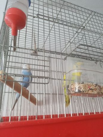 Troco piriquitos por outros pássaros, motivo todos do mesmo sexo