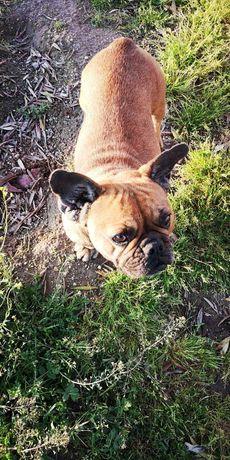 Bulldog Francês castanho