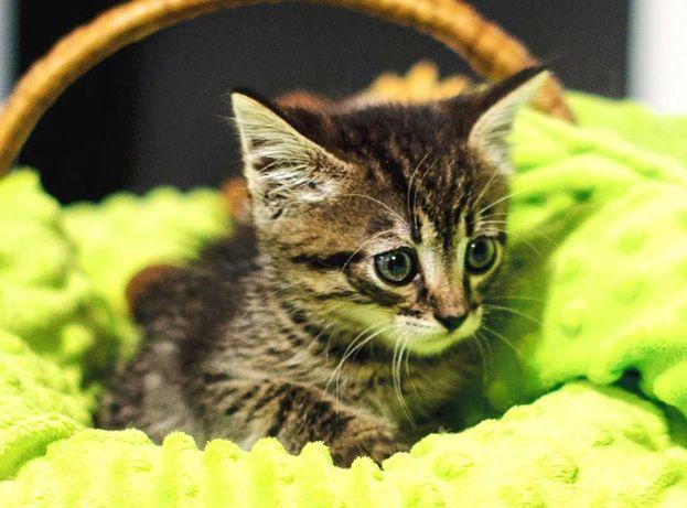 Камишенок, таббі кошеня 2 міс. шукає дім! кот кошка котенок