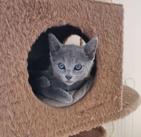 Kocięta Rosyjskie Niebieskie, Rodowód - Rosyjski niebieski