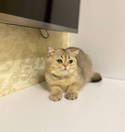 Идеальный котенок, котята золотая шиншилла, девочка скоттиш страйт