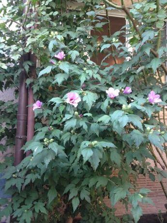 Семена гибискуса древовидного,цвет лавандовый, белый