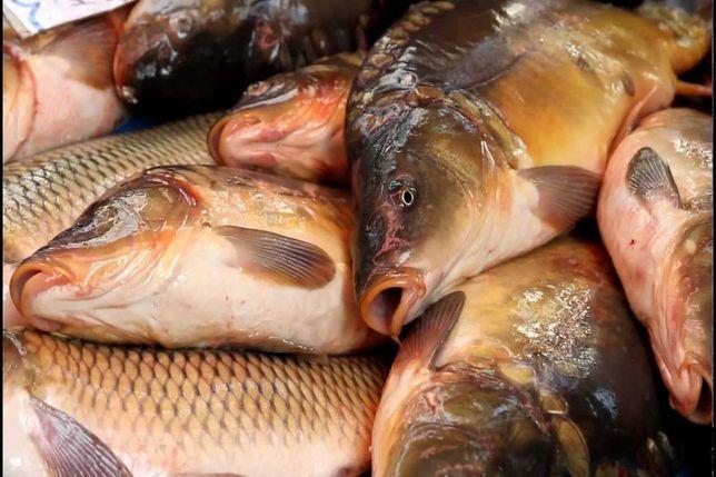 Жива риба від виробника з відповідними документами.