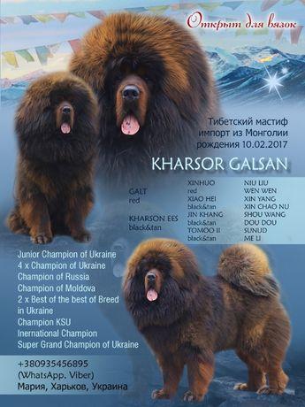 ВЯЗКА тибетский мастифф щенки 20г.-21г. !!!