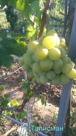 Виноград Талисман саженцы