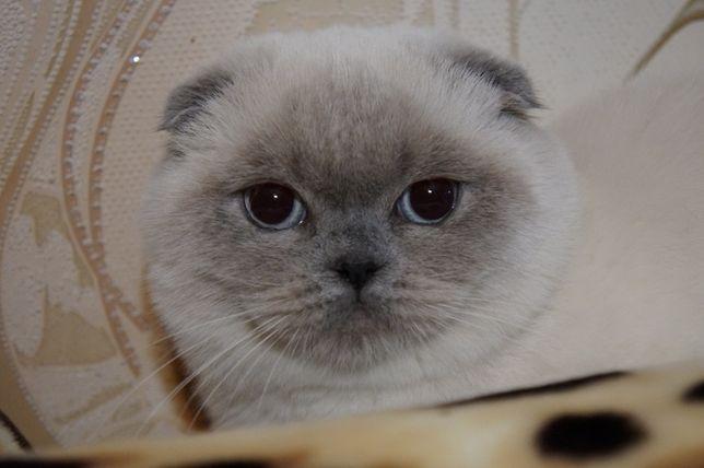 Вислоухий котик приглашает на вязку