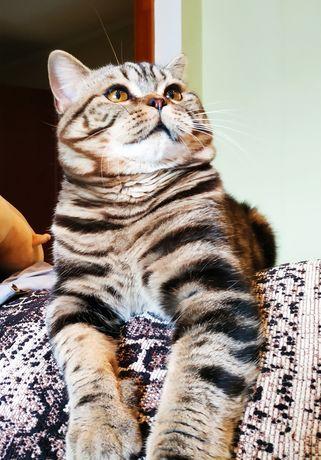 Вязка.  Мраморный Шотландский кот